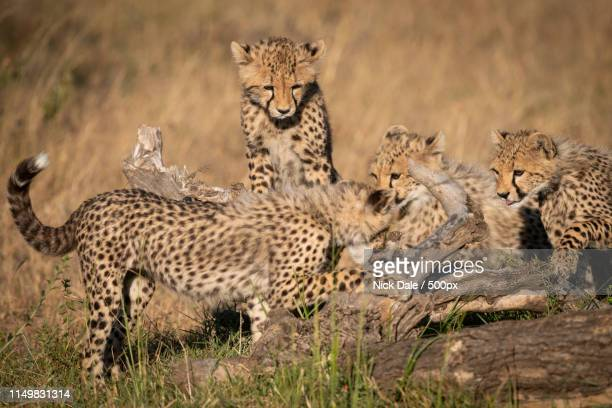 Three Cheetah Cubs Watch Another On Log