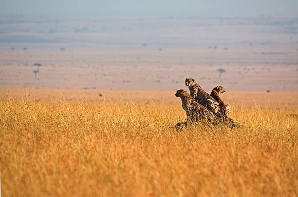 Three cheetah in open plains
