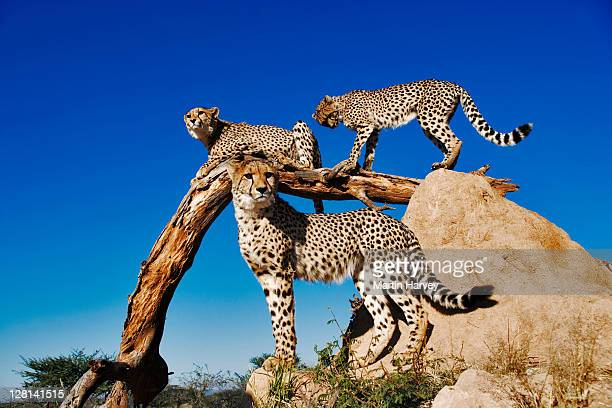 Three Cheetahs, Acinonyx jubatus, using termite mound and branch as a vantage point. Can reach top speeds of up to 120 km/hr over short distances with an acceleration of zero to 80km per hour in 3 seconds. Endangered species. Dist. Africa & Middle East.