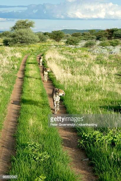 Three cheetahs along path in Etosha National Park, Namibia, Africa