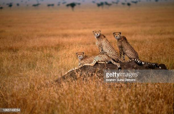 Three cheetahs are looking camera in Masai Mara