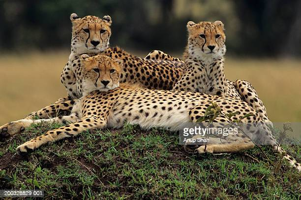 Three cheetahs (Acinonyx jubatus), lying on savannah, Kenya