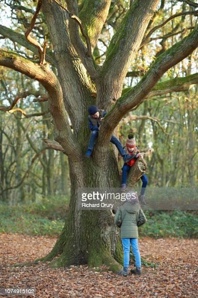 Three children climbing an oak tree in Autumnal woodland