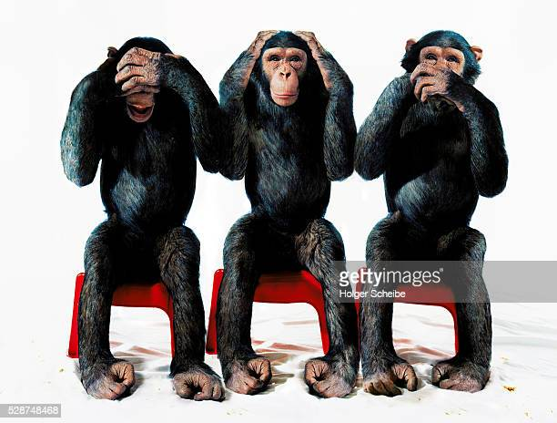 three chimpanzees - see no evil hear no evil speak no evil stock pictures, royalty-free photos & images
