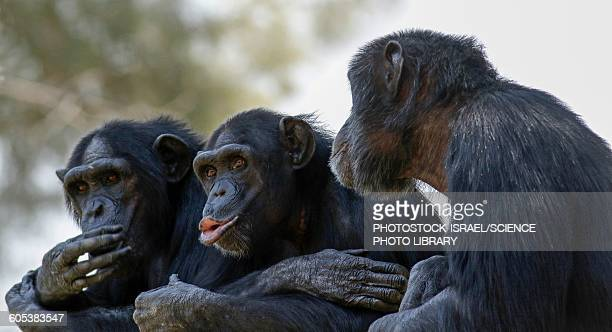 Three chimpanzees socializing