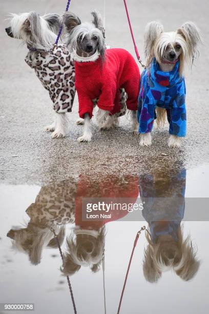 Three Chinese Crested dogs wear raincoats as they arrive on day three of the Cruft's dog show at the NEC Arena on March 10 2018 in Birmingham England...