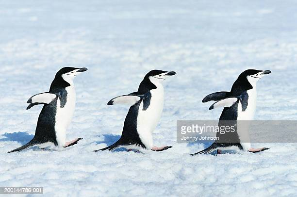 Three chinstrap penguins (Pygoscelis antarctica) walking in a row
