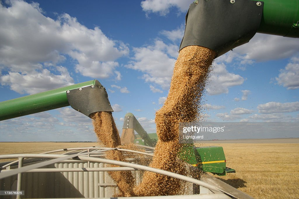 Three combines pour grain into one truck hopper at harvest : Stock Photo
