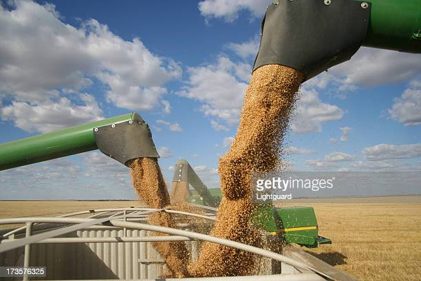 Three combines pour grain into one truck hopper at harvest