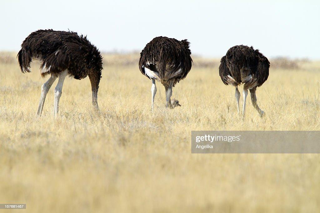 Three Common Ostrichs, Etosha National Park, Namibia : Stock Photo