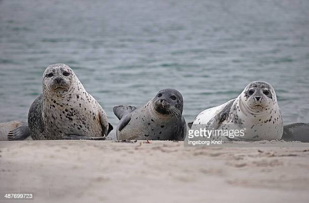 three common seals -phoca vitulina- on the beach, duene island, helgoland, schleswig-holstein, germany - carnivora stock photos and pictures