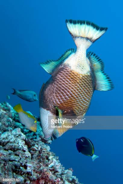 three coral fish encircle titan triggerfish (balistoides viridescens) and benefit from its foraging, pacific, moorea, windward islands, society islands, french polynesia. - titantryckarfisk bildbanksfoton och bilder