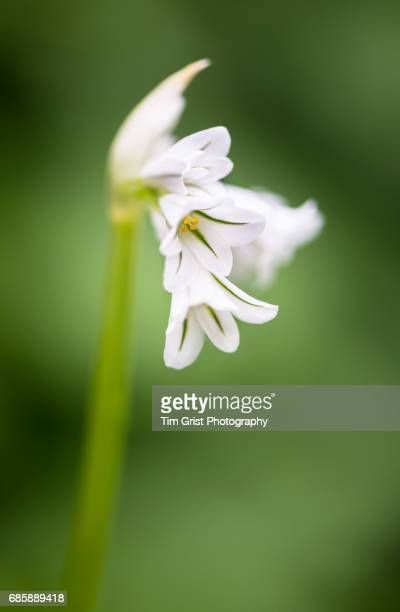 Three Cornered Garlic, Allium Triquetrum