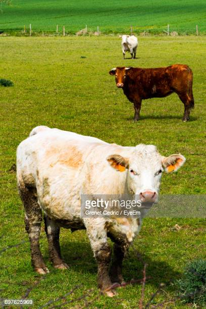 Three Cows Grazing On Pasture