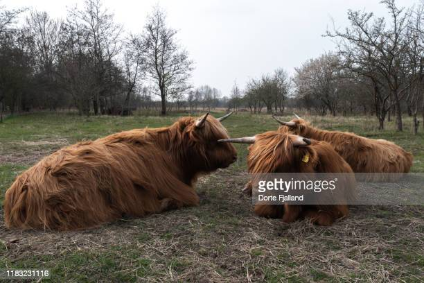 three cows lying down on the ground with threes withhout leaves in the background - dorte fjalland stock-fotos und bilder