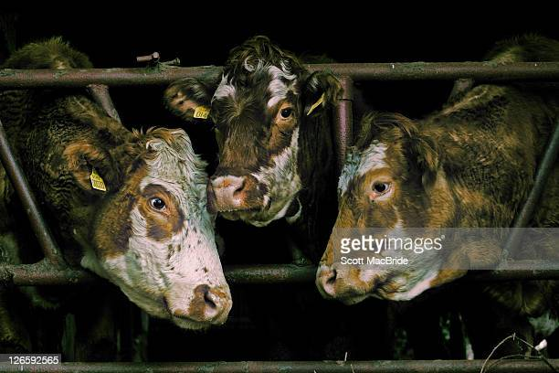 three cows - scott macbride stock pictures, royalty-free photos & images