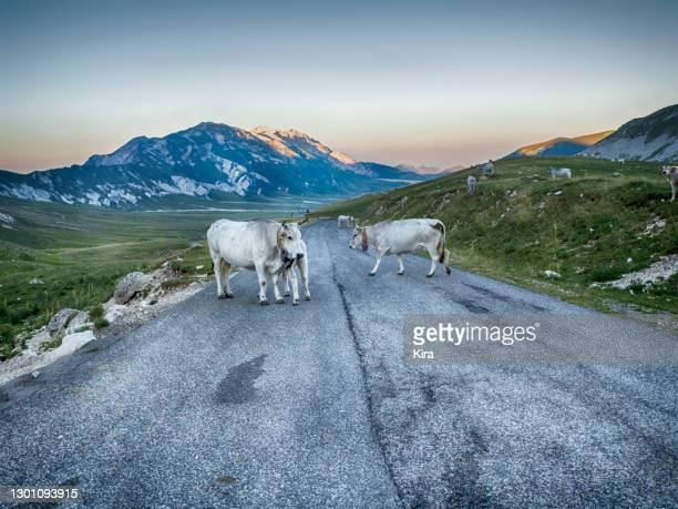 three cows standing in the middle of a road, campo imperatore, abruzzo, italy - parco nazionale del gran sasso e monti della laga foto e immagini stock