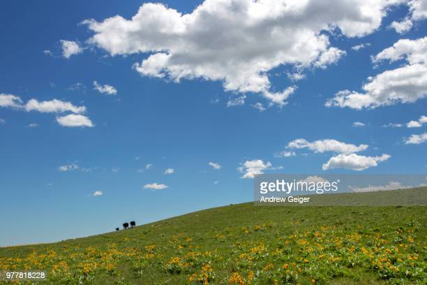 three cows walking along hill top in yellow wild flower covered field and puffy clouds in sky. - pasture stock pictures, royalty-free photos & images