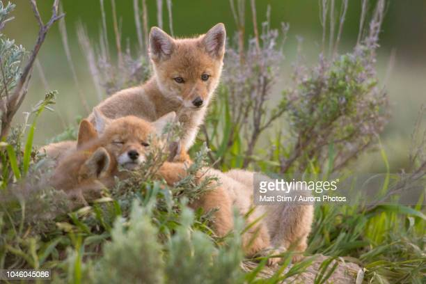 three coyote pups resting in grass, jackson hole, wyoming, united states - jeune animal photos et images de collection