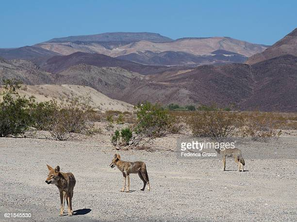 three coyotes along the road in death valley national park, california - coyote stock pictures, royalty-free photos & images