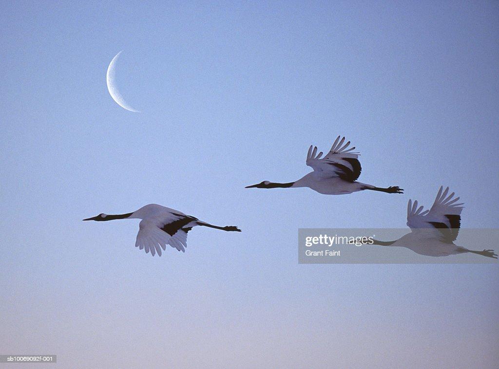 Three cranes in flight : Stockfoto
