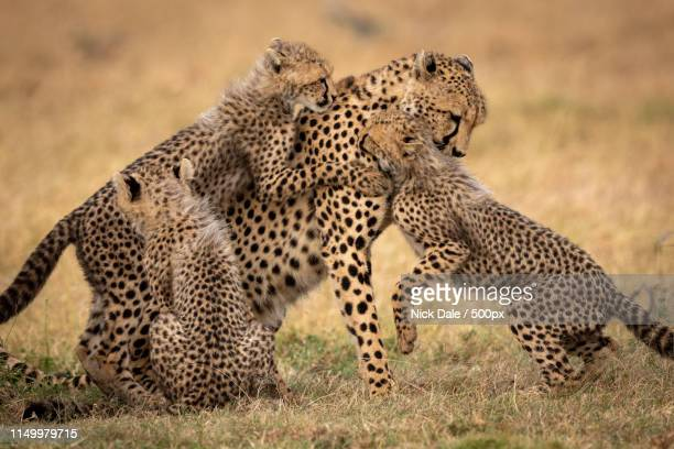 Three Cubs Playing With Cheetah On Grass