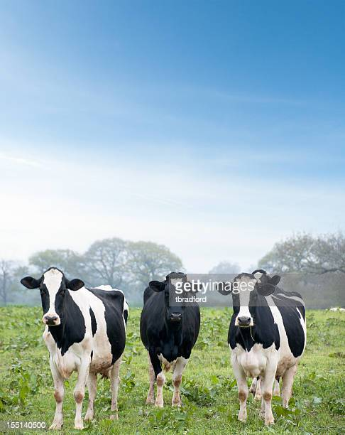 Three Curious Cows Looking At The Camera