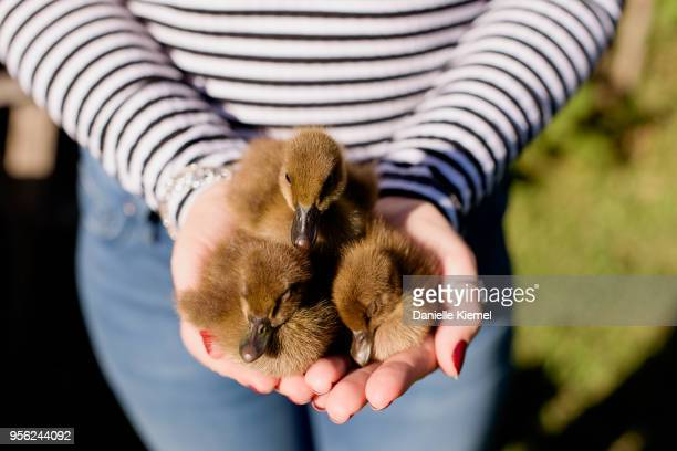 three cute ducklings held in woman's hands - duck bird stock pictures, royalty-free photos & images