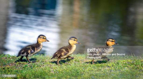 three cute ducklings running in a row at babylon, long island - young bird stock pictures, royalty-free photos & images