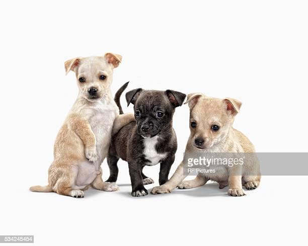 three cute puppies on white background - 三匹 ストックフォトと画像