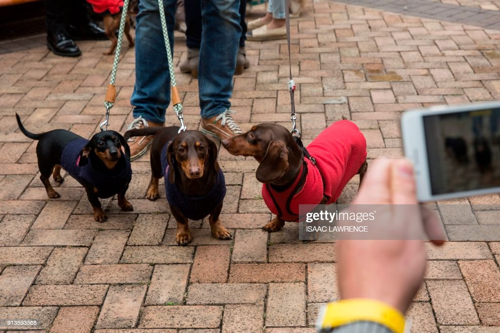 TOPSHOT - Three dachshunds have their photo taken before taking part in the city's first 'Sausage Walk' in Hong Kong on February 3, 2018. In a city that likes to dress up its dogs, 50 dachshunds gathered in Hong Kong on February 3 wearing everything from patterned winter jumpers to dapper tweed. /
