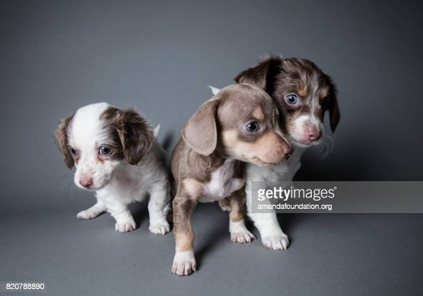 three dachshund-terrier puppies playing - the amanda collection - amandafoundationcollection stock pictures, royalty-free photos & images