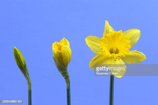 Three daffodils in row, close-up