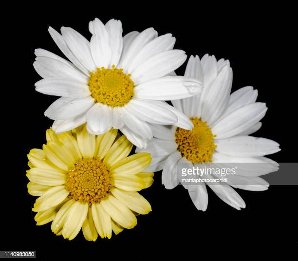 three daisy camomile chamomile close up - chamomile plant stock pictures, royalty-free photos & images