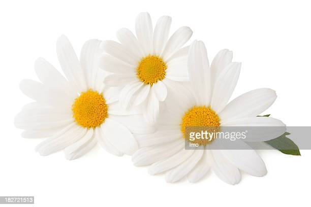 Three Daisys isolated