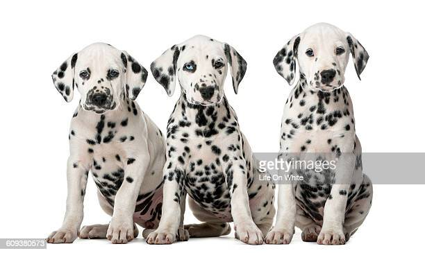 Three Dalmatian puppies isolated on white