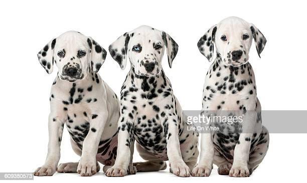 three dalmatian puppies isolated on white - dalmata imagens e fotografias de stock