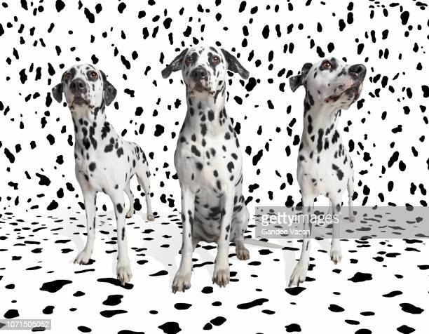 Three Dalmatians Camouflaged