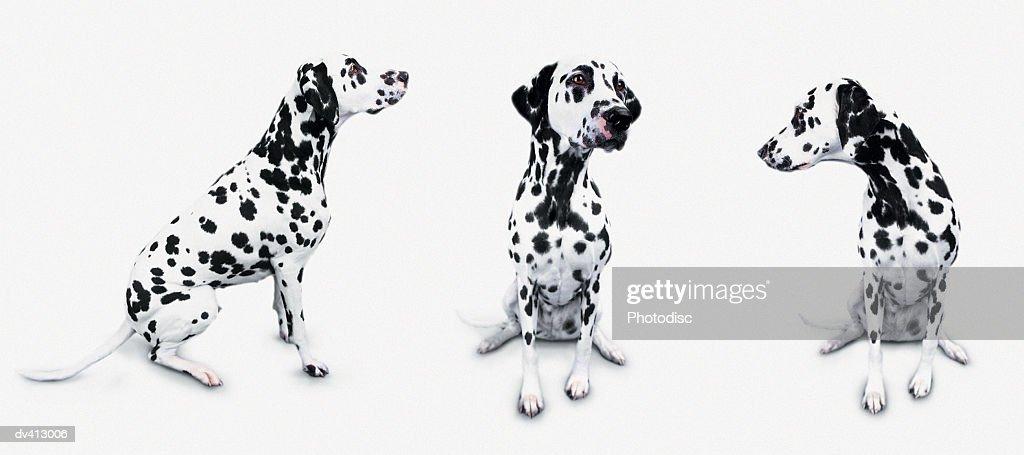 Three Dalmatians : Stock Photo