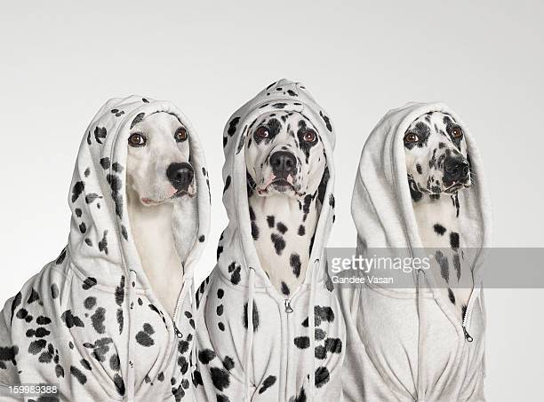 Three Dalmations wearing Hoodies