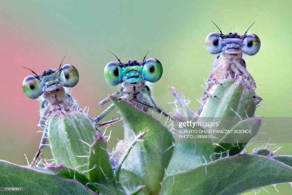 Three damselflies on wild plant : Stock Photo