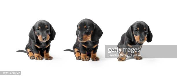 three dashund puppies - dachshund stock pictures, royalty-free photos & images