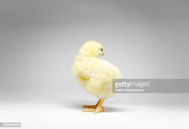 three day old chick standing on white paper - day old chicks stock photos and pictures