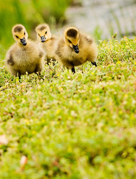Three Day Old Goslings Wall Art