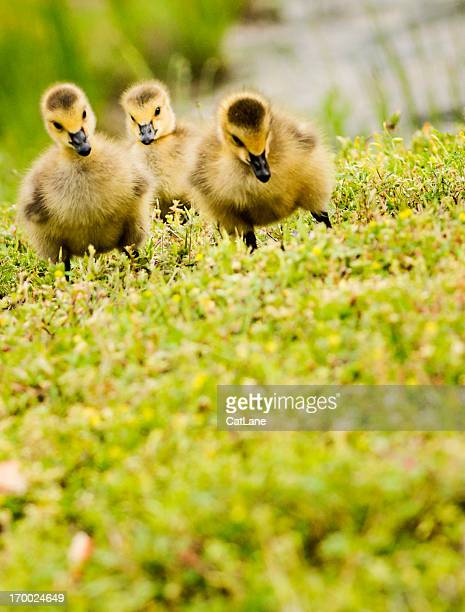 Three Day Old Goslings