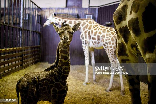 A three day old new born giraffe stands indoors with its mother on April 11 2012 in Madrid Spain Tatu a Rothschildi Giraffe gave birth on April 8 at...