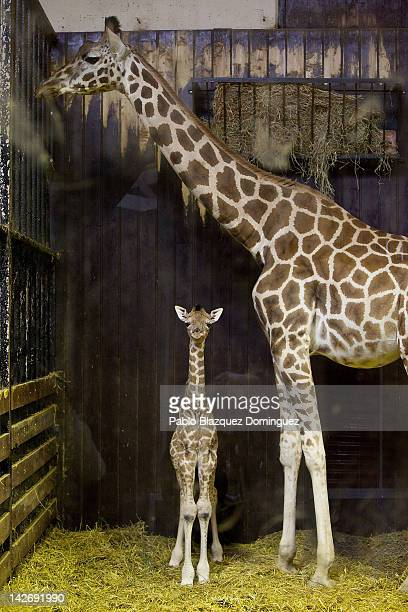 A three day old new born giraffe stays indoors with its mother on April 11 2012 in Madrid Spain Tatu a Rothschildi Giraffe gave birth on April 8 at...
