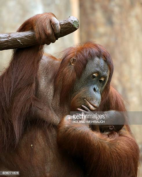 A three day old Orang Utan clings to its mother in their enclosure at the zoo in Krefeld western Germany on December 7 2016 / AFP / dpa / Roland...