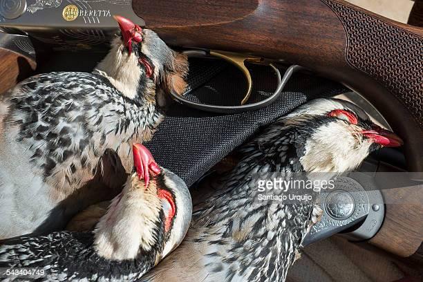 Three dead red-legged partridges