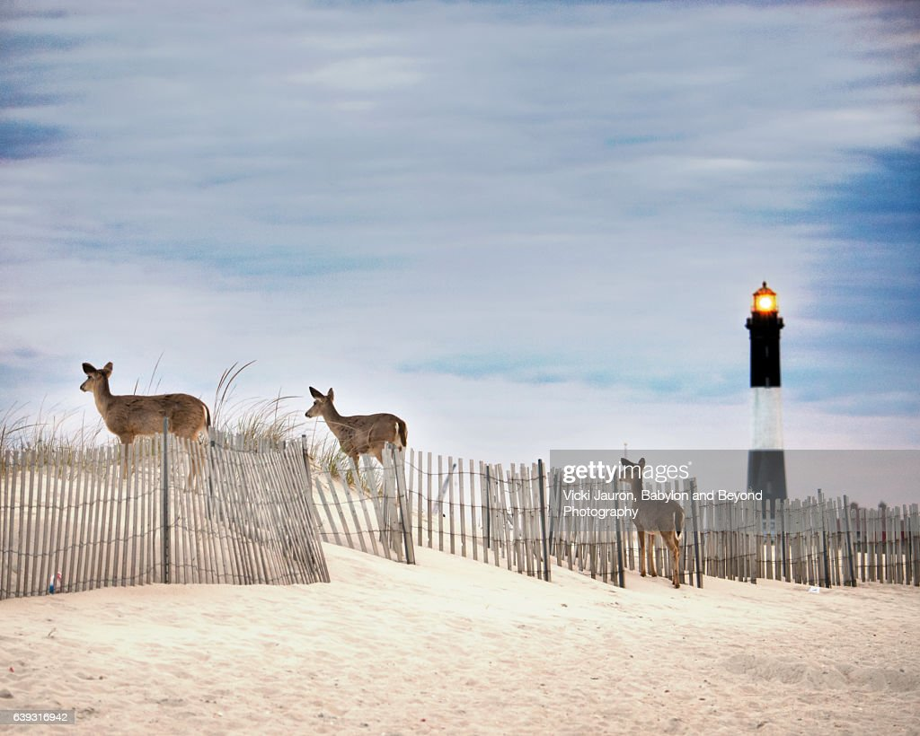Three Deer Along Fence Line and Lighthouse in Background at Fire Island : Stock Photo